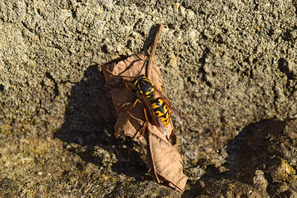 The female wasp common after hibernation Wasp basking in the sun
