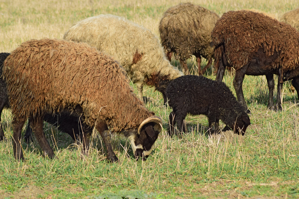 Sheep in the pasture Grazing sheep herd in the spring field near the village Sheep of different breeds