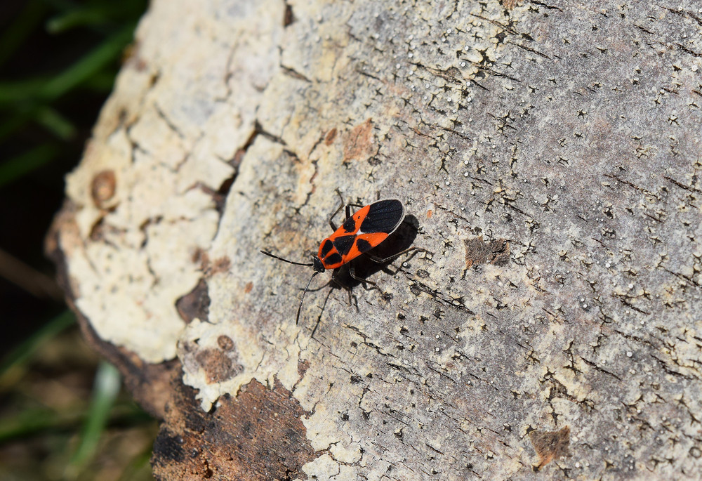 The image of red bugs in a native habitat