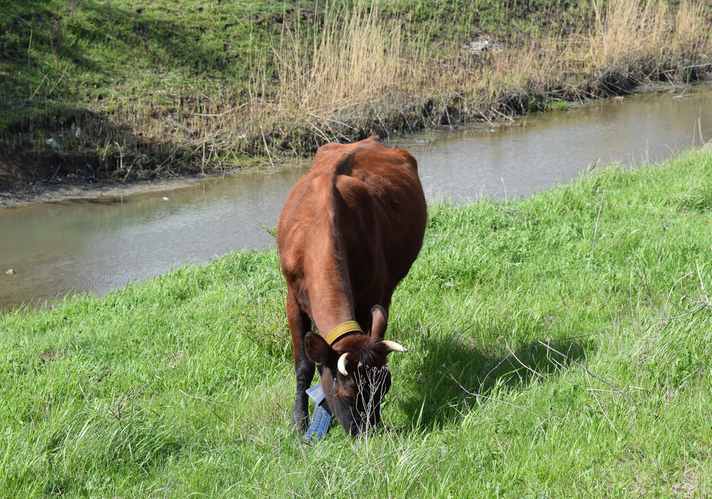 A cow grazing on the riverbank Brown cow eating fresh grass on the banks of a small river