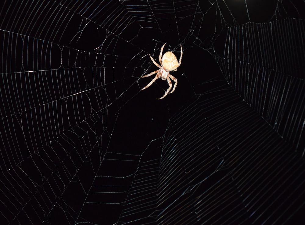 Araneus Spider hunts at night Night spider on its web