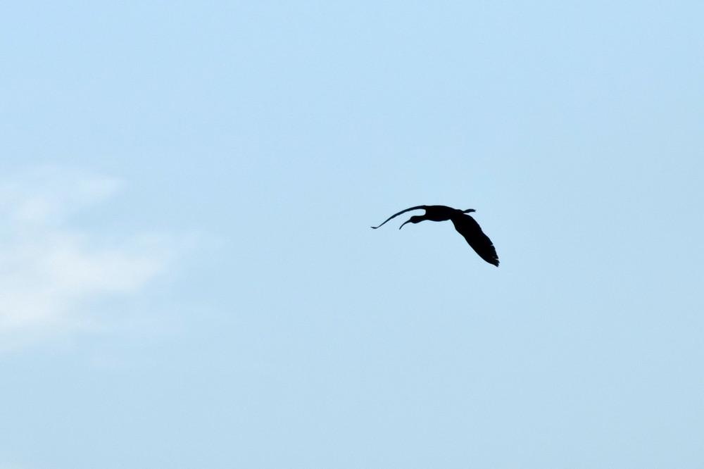 Bird snipe A black silhouette of a bird against the sky