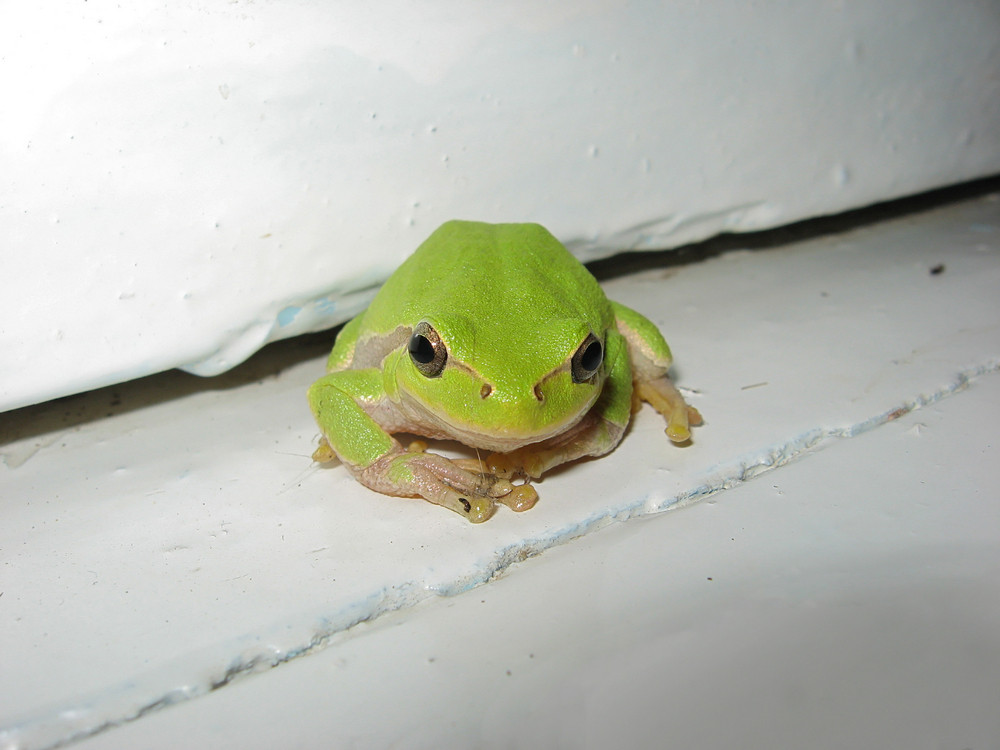 Green tree frog Frog on the window sill