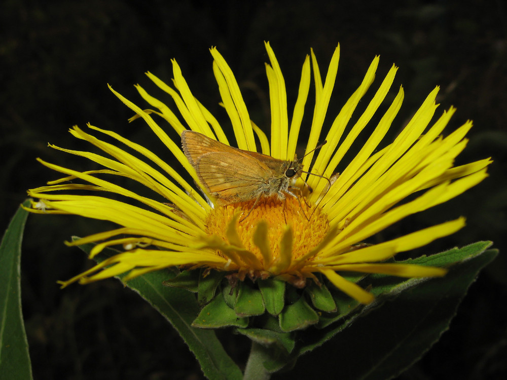 Butterfly on a flower drinking nectar Insect pollinators