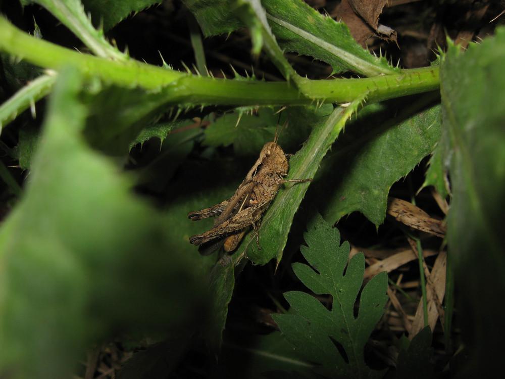 Grasshopper in a native habitat Wrecker of agriculture