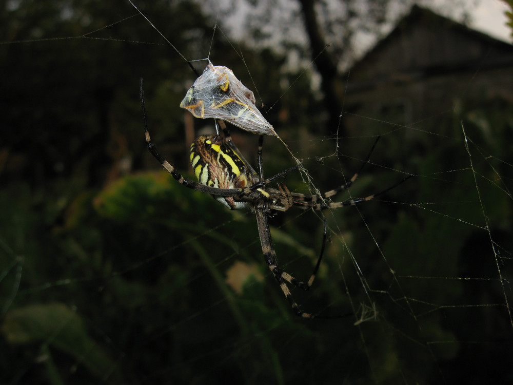 Argiopa Spider on the web Arachnid predator