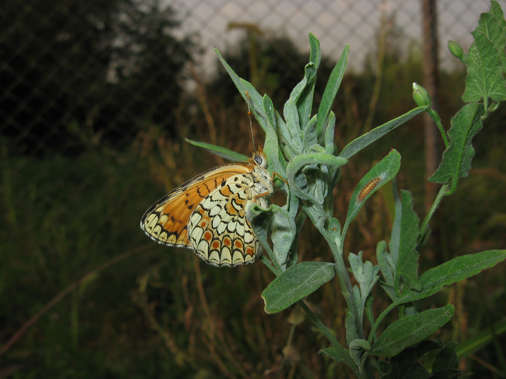 Butterfly on a plant stem Insect pollinators
