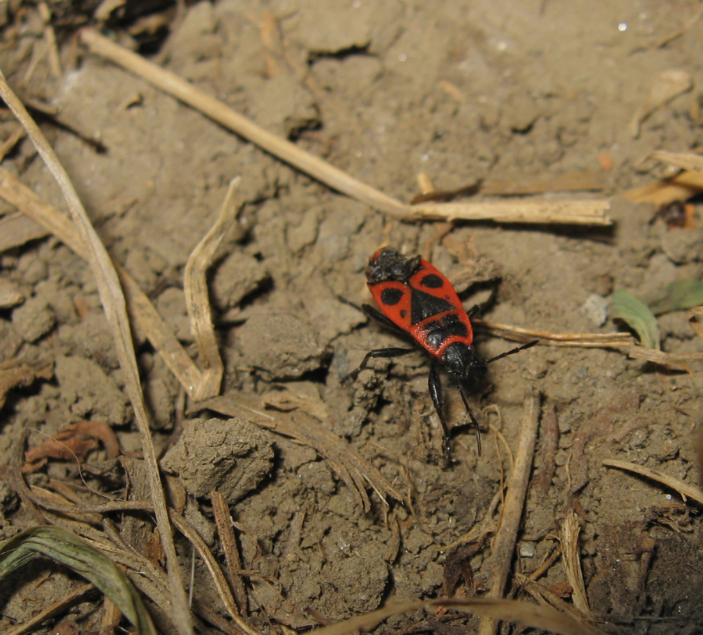 The image of red bugs in a native habitat Spring nature fire bug red insects macro