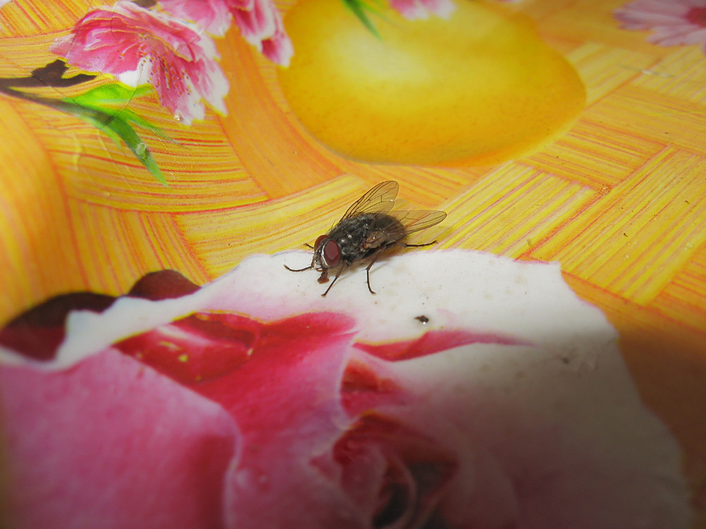 Fly on the table cloths Pest in the home