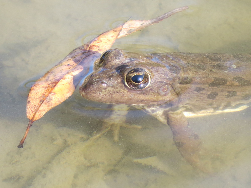 Frog in water Amphibious in a native habitat
