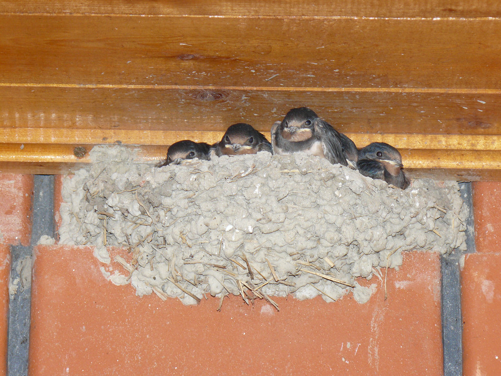 Swallow nest with the grown-up baby birds Reproduction of nested birds