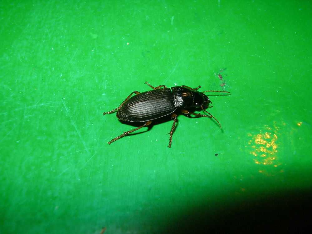 Ground beetle A predatory insect from group of coleoptera