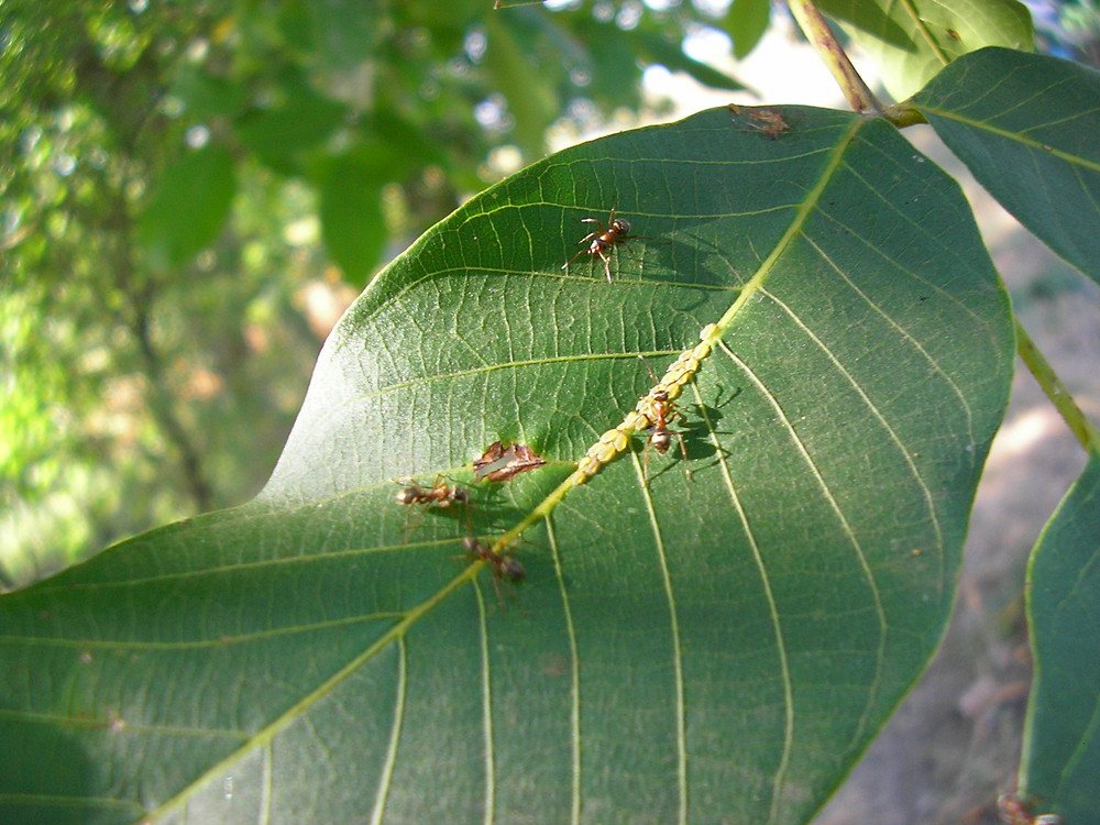 Ant will rule the colony of aphids