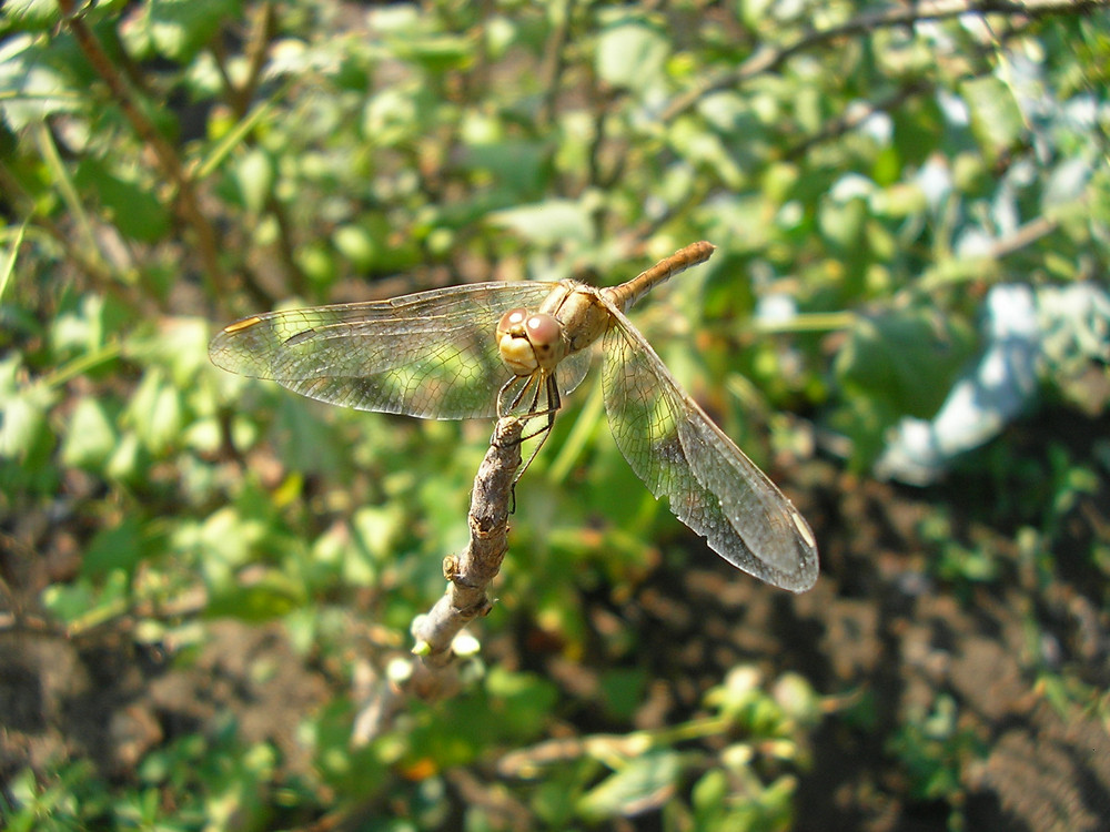 The dragonfly who sat down to have a rest and get warm