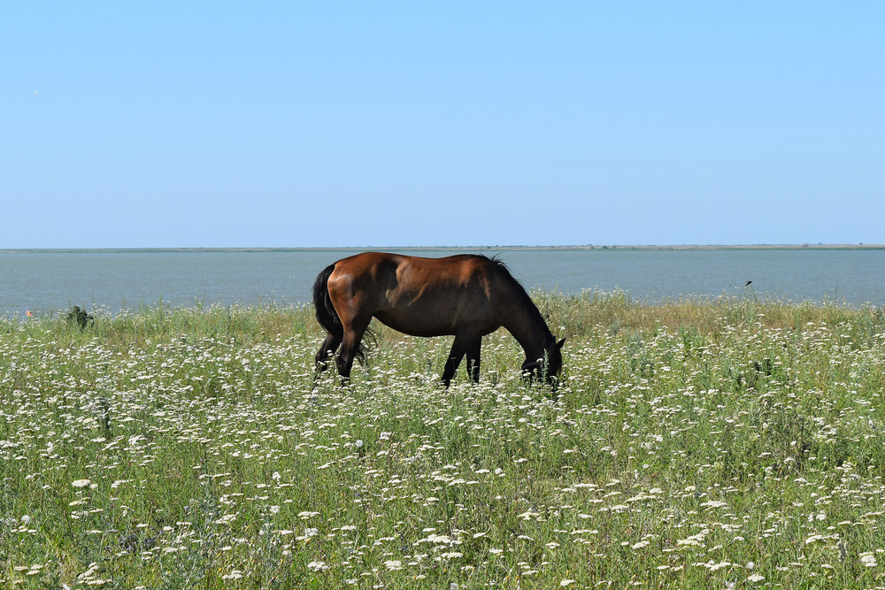 The grazed horse The horse eats the grass growing on a pasture at coast of the Sea of Azov