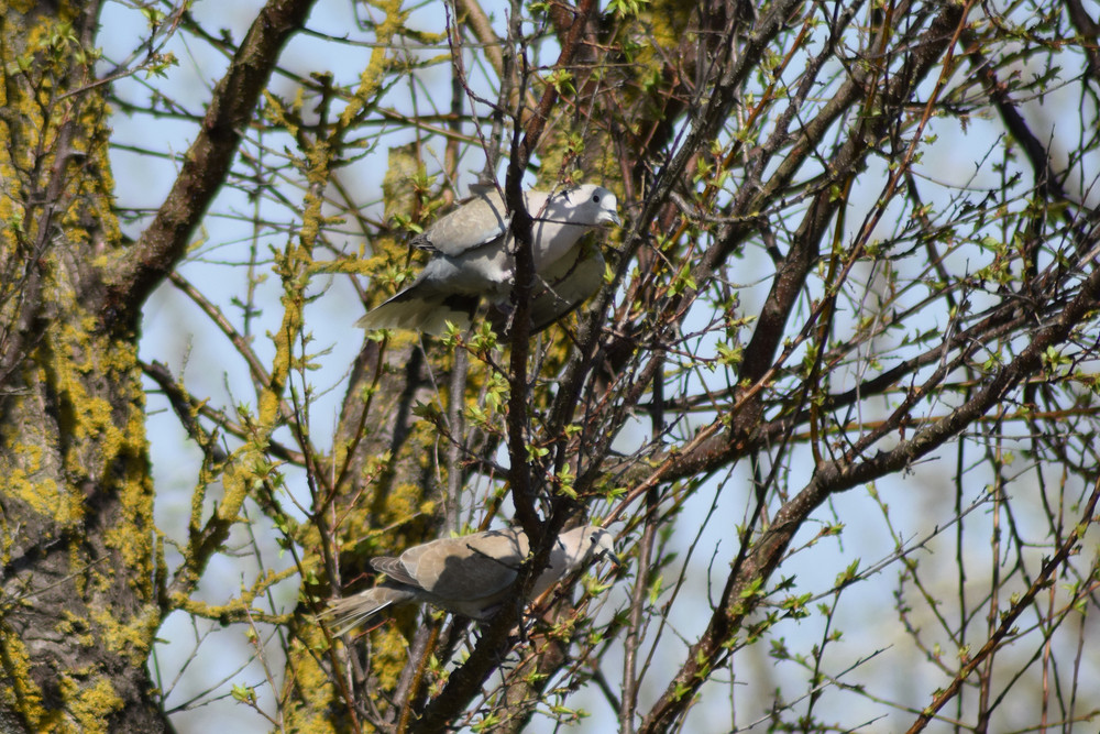 Two turtledoves on the branches of an apricot Pigeons