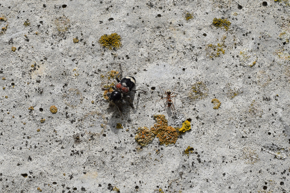 Tri-color beetle on old concrete An insect of the family of beetles