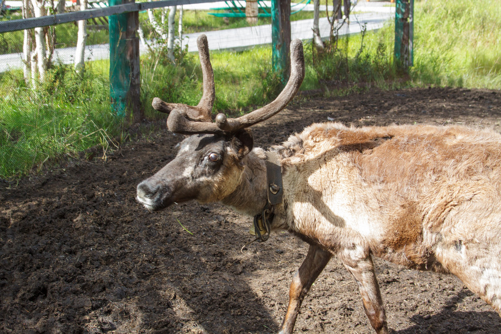 Reindeer at the zoo Horned cloven-hoofed