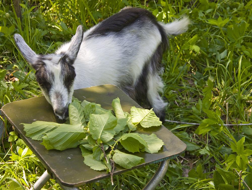 Goat common Cloven-hoofed ruminants