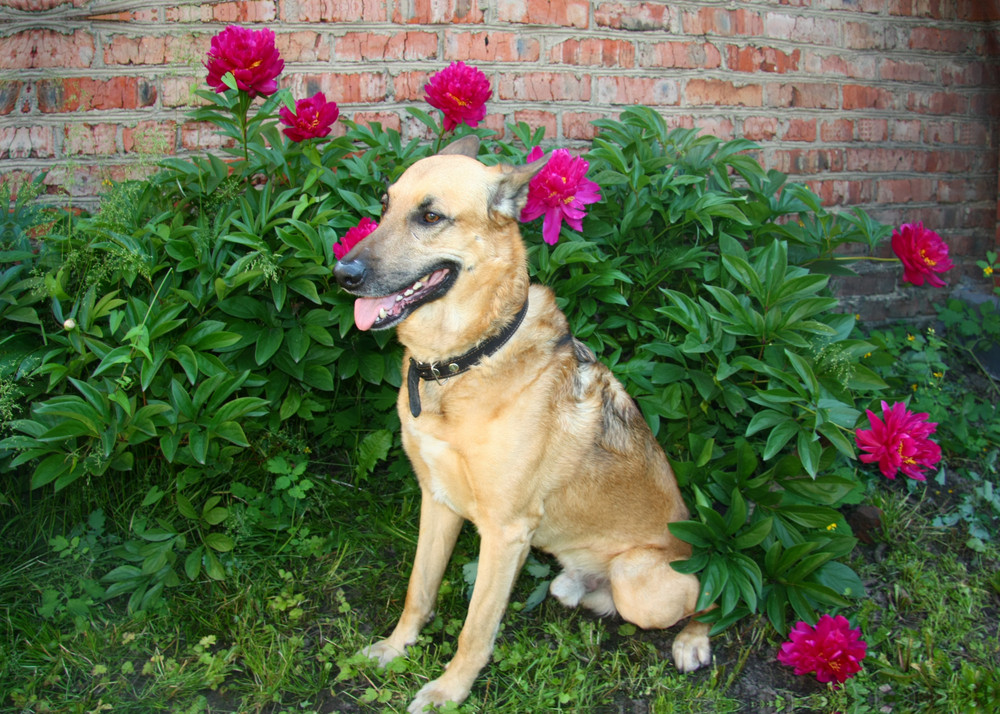 Shepherd Dog breed Fun and clever pet