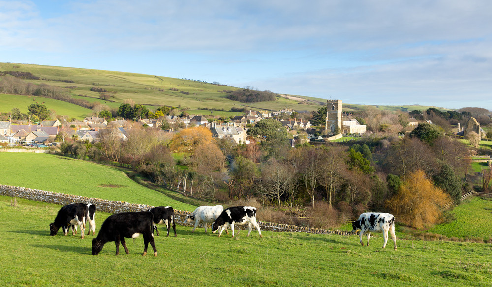 Cows in the countryside English village of Abbotsbury Dorset UK
