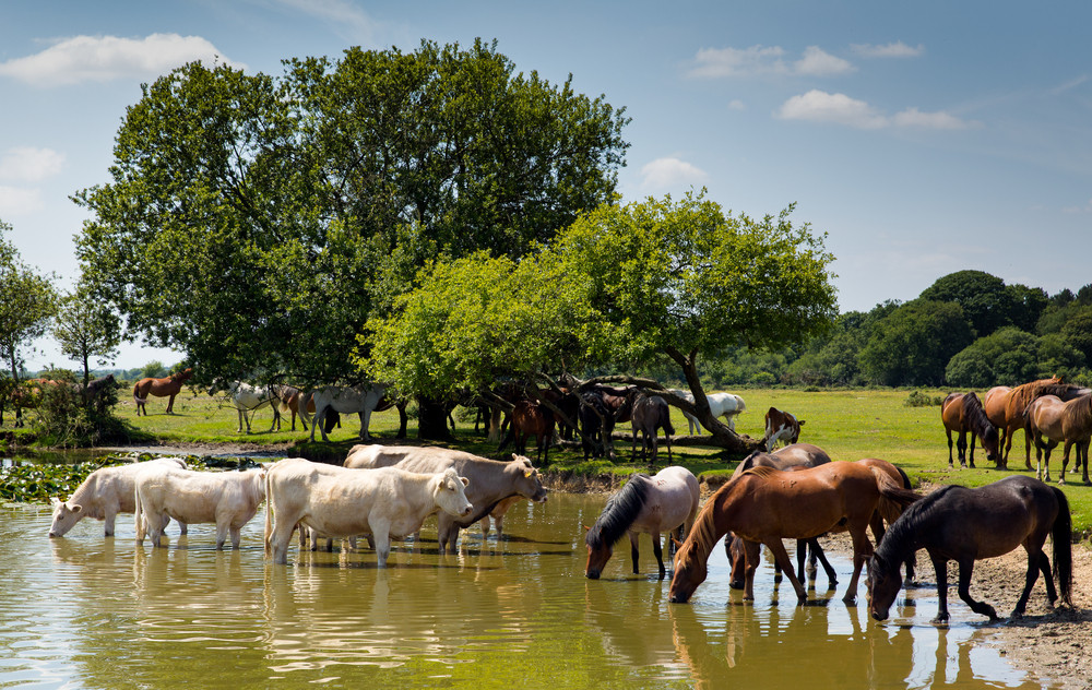 Cows and ponies drinking at lake in summer with blue sky