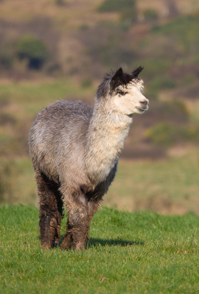 Male Alpaca from South America and like a llama