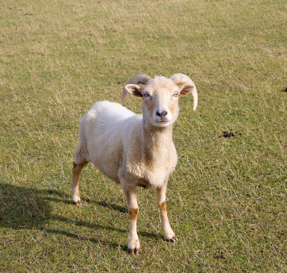 Rare breed of Portland sheep looking like a goat with horns