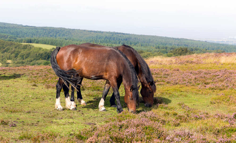 Two brown ponies grazing with purple heather