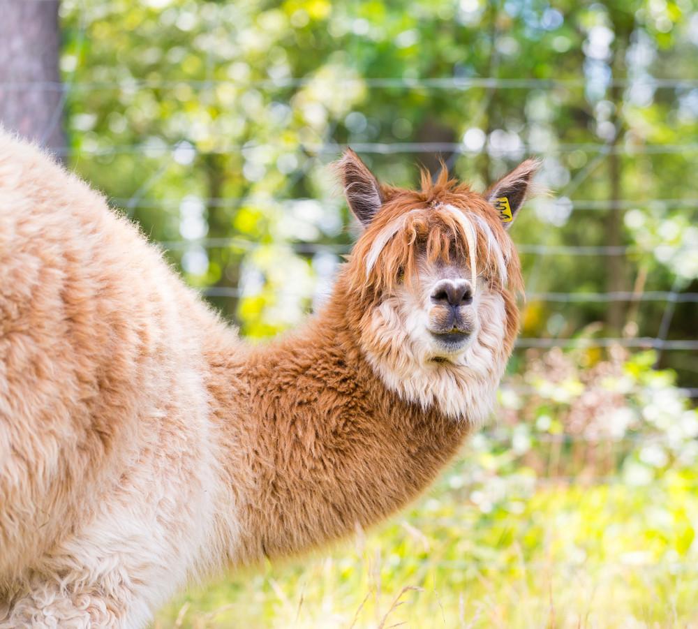 Alpaca in outdoor