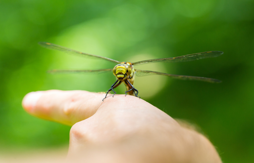 Dragonfly resting on human hand