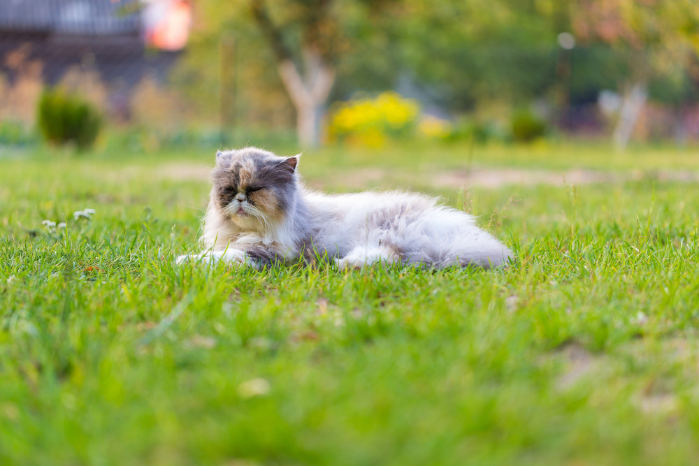 Persian cat resting on grass