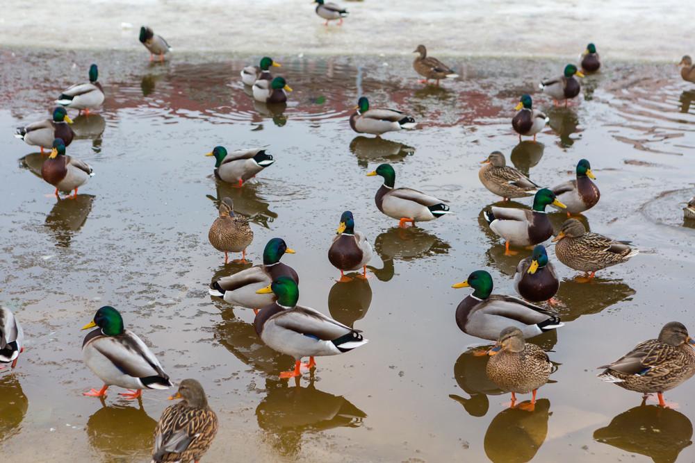 Mallard ducks herd
