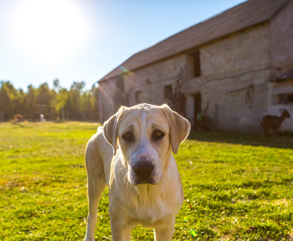 Big dog portrait