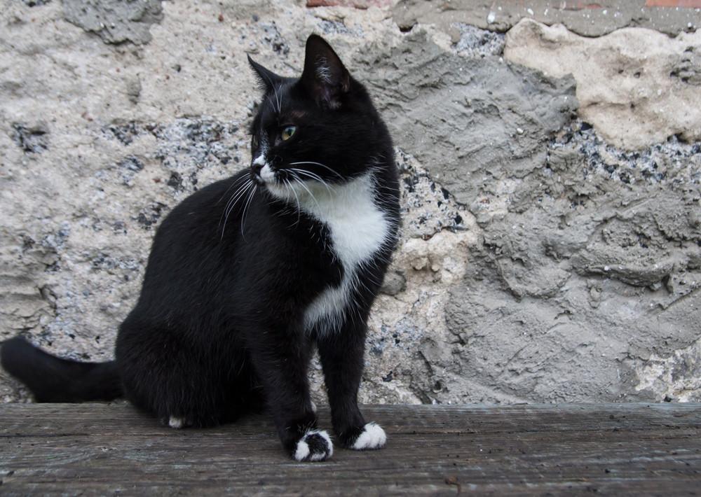Shorthair domestic cat portrait