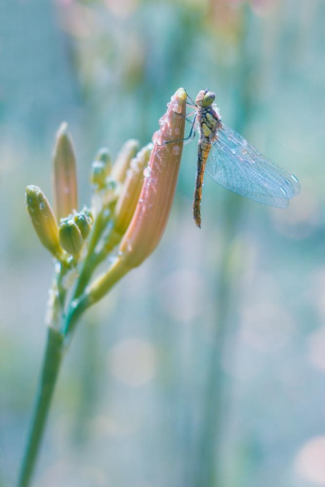 Dragonfly sitting on flower bud