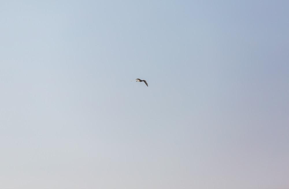 Swan flying on blue sky background