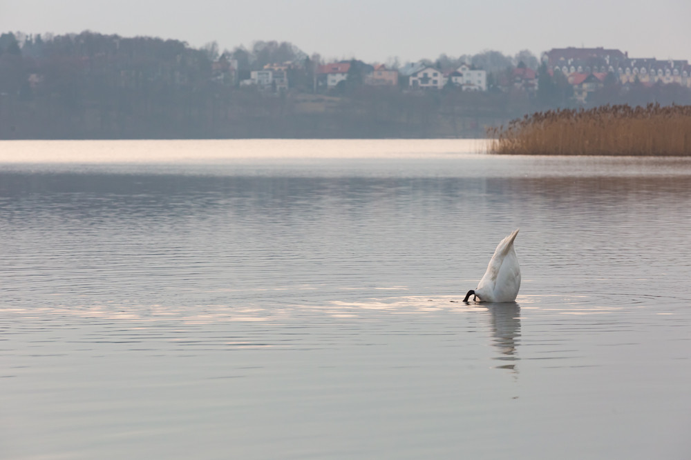 Lake landscape with swimming swans