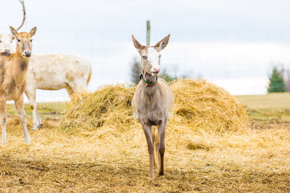 David's Deer in animal park.