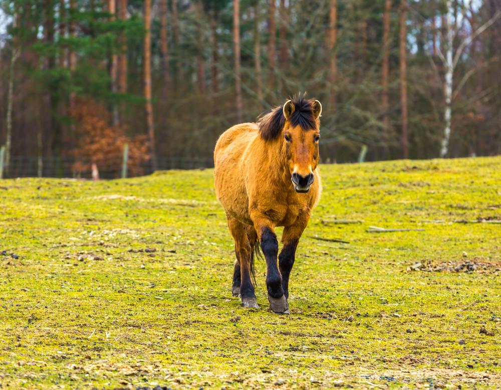 Przewalski horse portrait