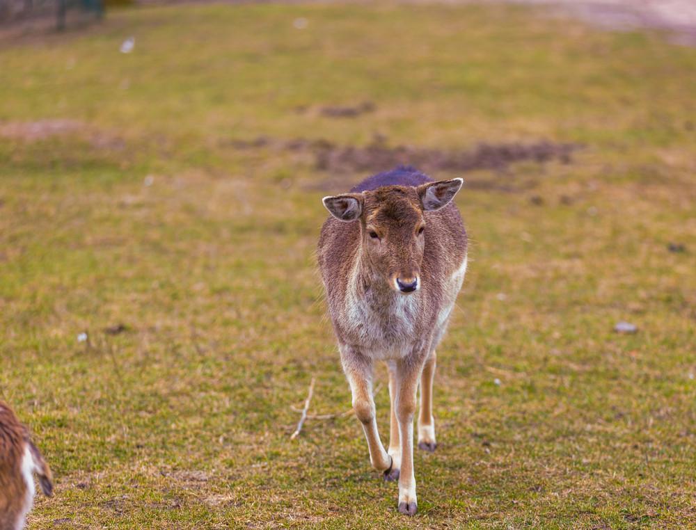 Mouflon female portrait.