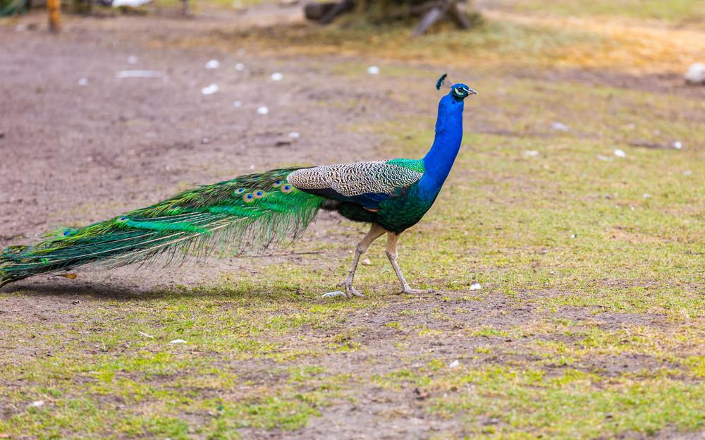 Beautiful peacock portrait