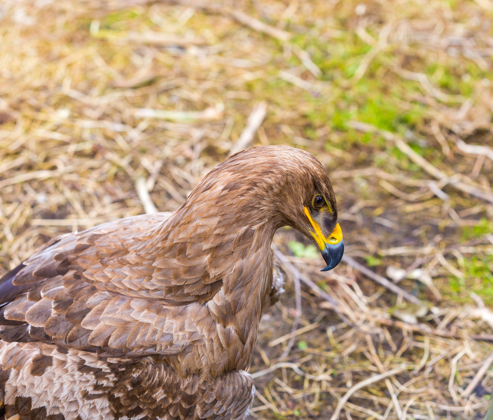 Portrait of steppe eagle