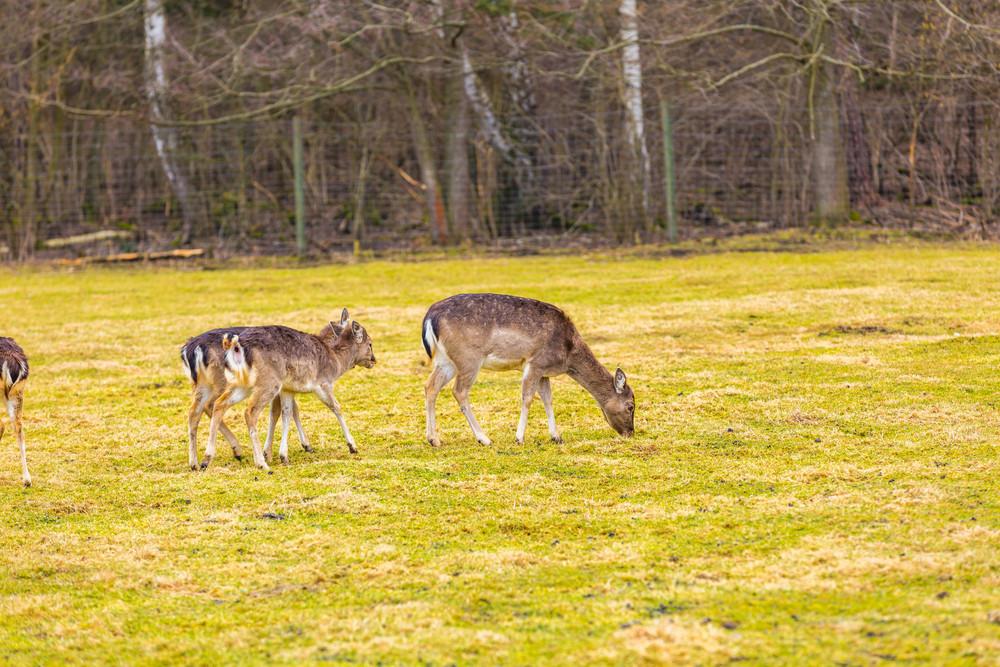 Fallow-deer in outdoor