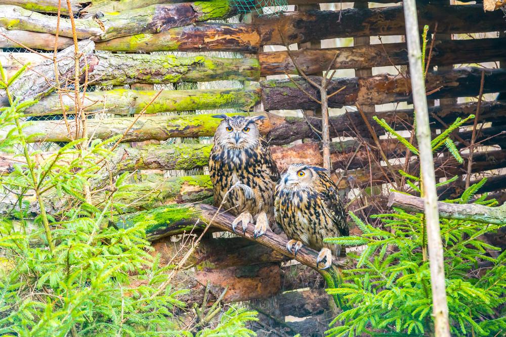 Beautiful owl pair portraits
