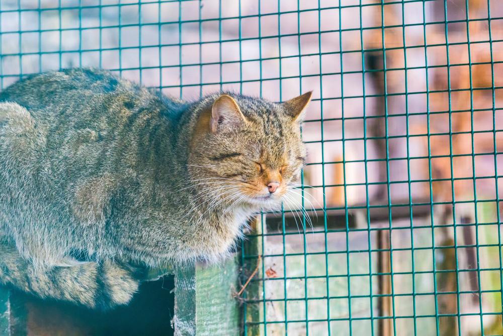 European wildcat portrait