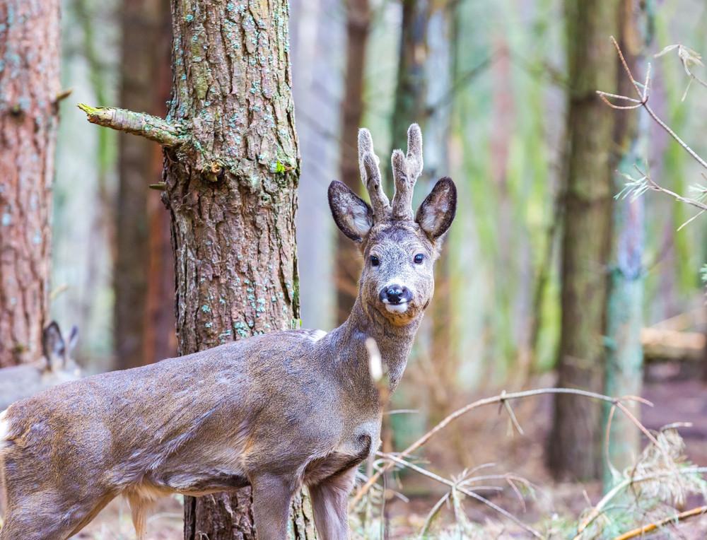 Roe deer portrait