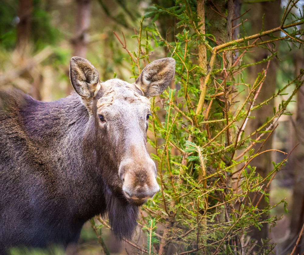 Moose portrait photographed in forest