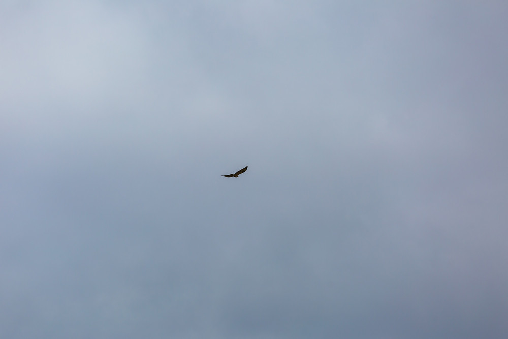 Hawk flying on cloudy sky background.