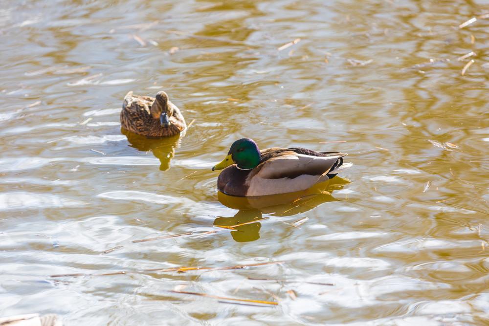 Mallard ducks photographed in city park